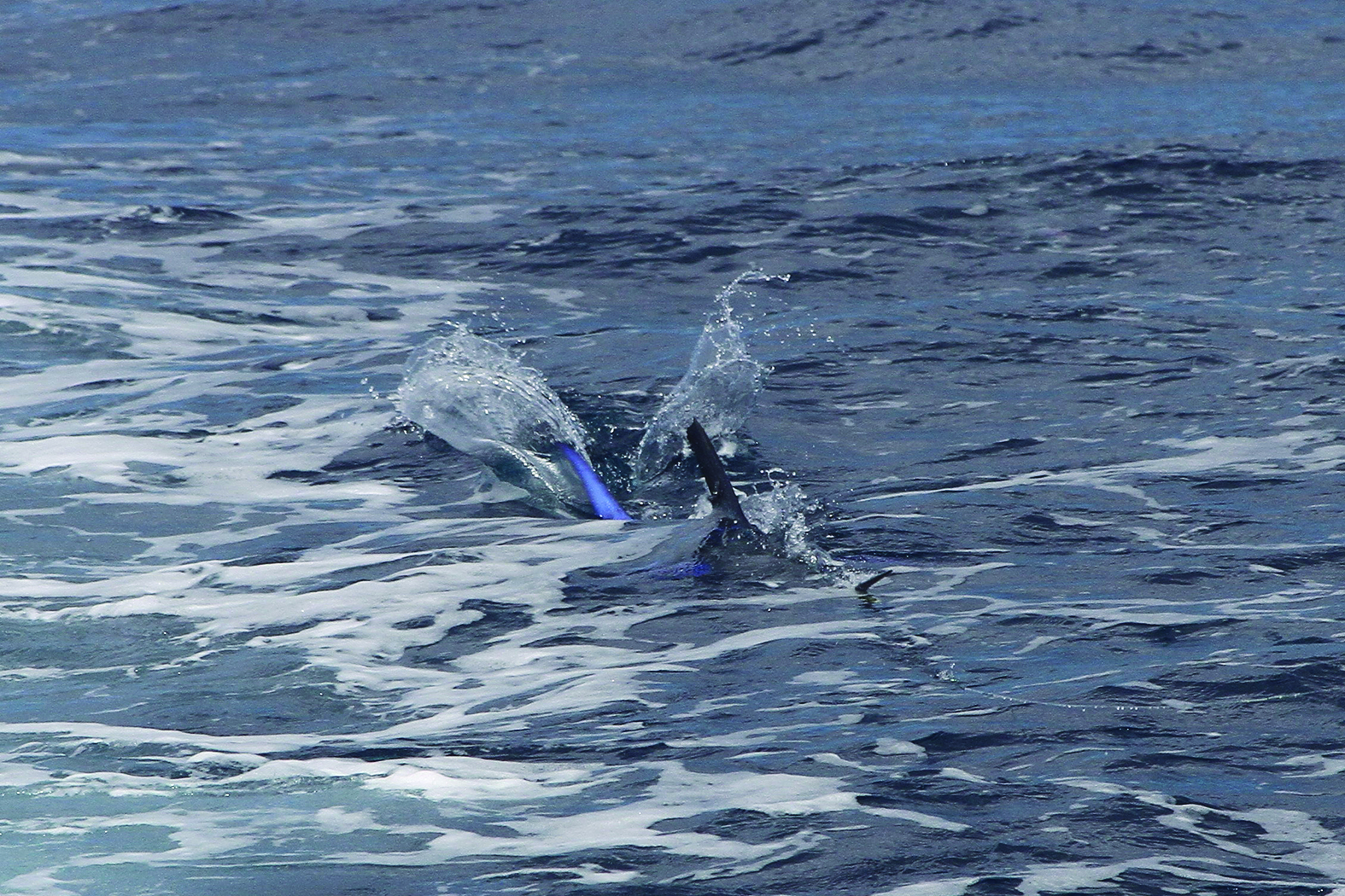 A marlin smashing one of the Grubbsta skirts.