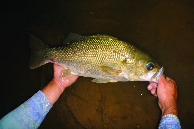 A cracking bass caught by the author during a hot night session.