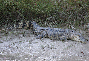If you are keen to see saltwater crocs in the wild, the downstream boat ramp at Cahills Crossing won't disappoint.