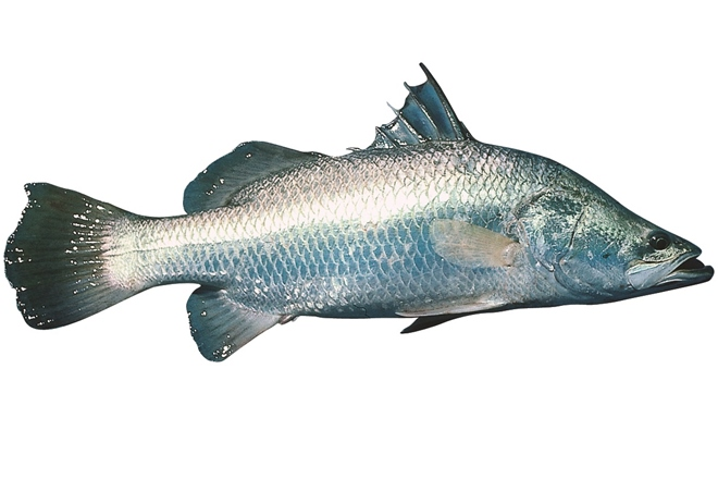 barramundi closed season