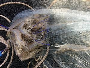 southeast queensland prawns