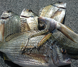 Bream Open