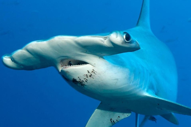 New rules commence for hammerhead sharks