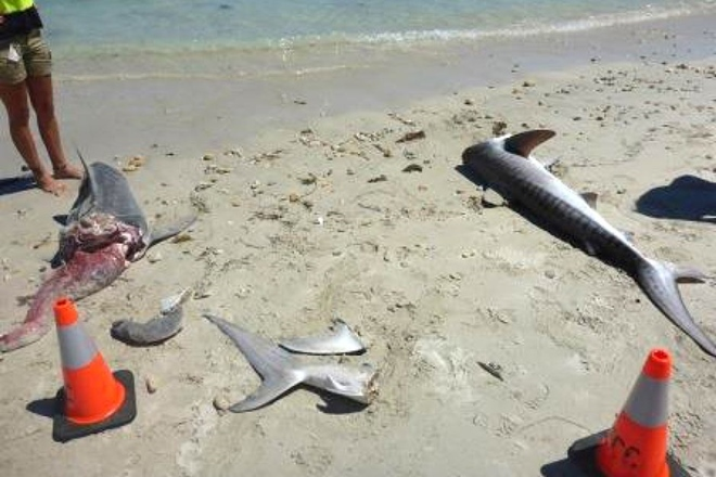tiger sharks remains mutilated wa