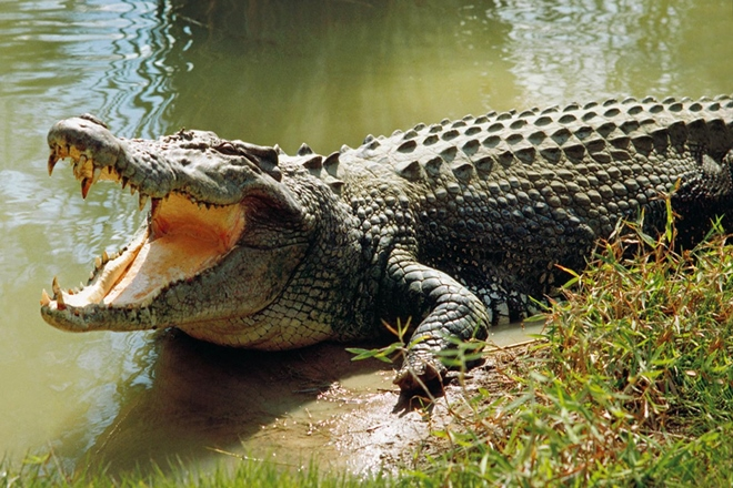 Crocodile sightings under Fraser Coast wharf