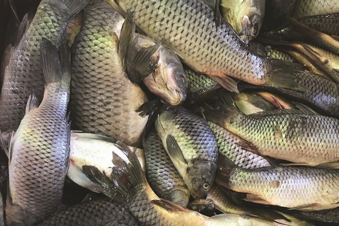 dead carp control plan