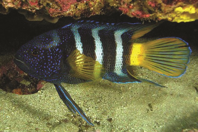 blue devil fish