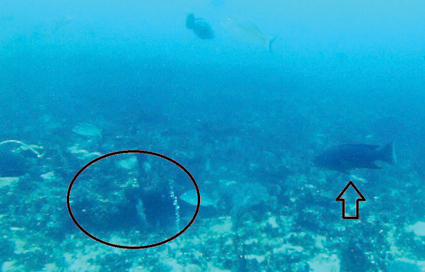 Coronation trout will happily roam gracefully around the reefs while looking for a feed. Here you can see one cruising over a relatively flat reef. Circled is a small overhang that would provide enough structure to offer a suitable home for these beautiful fish.