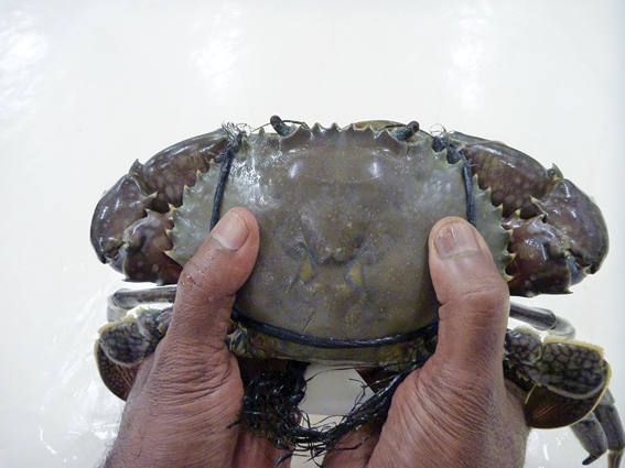 Apply pressure as shown to determine if a crab is lacking meat.