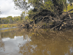 These trees represent an example of the snags within the creek fished by the author.