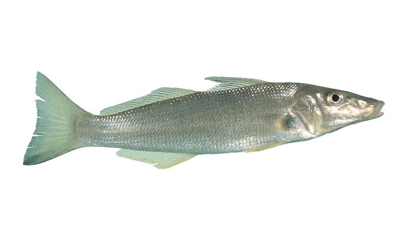 Watch your winter whiting limit