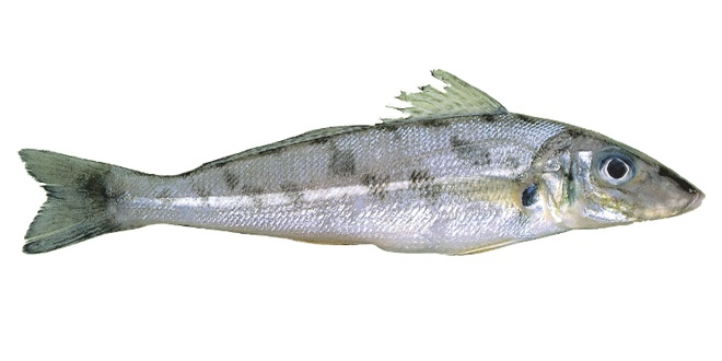 Watch your winter whiting limit for Whiting fish picture