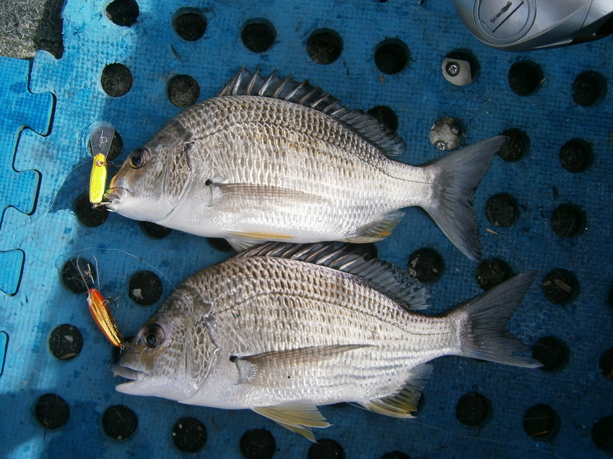 A double hook-up on quality bream that fell for a couple of well-trolled Pontoon21 lures.