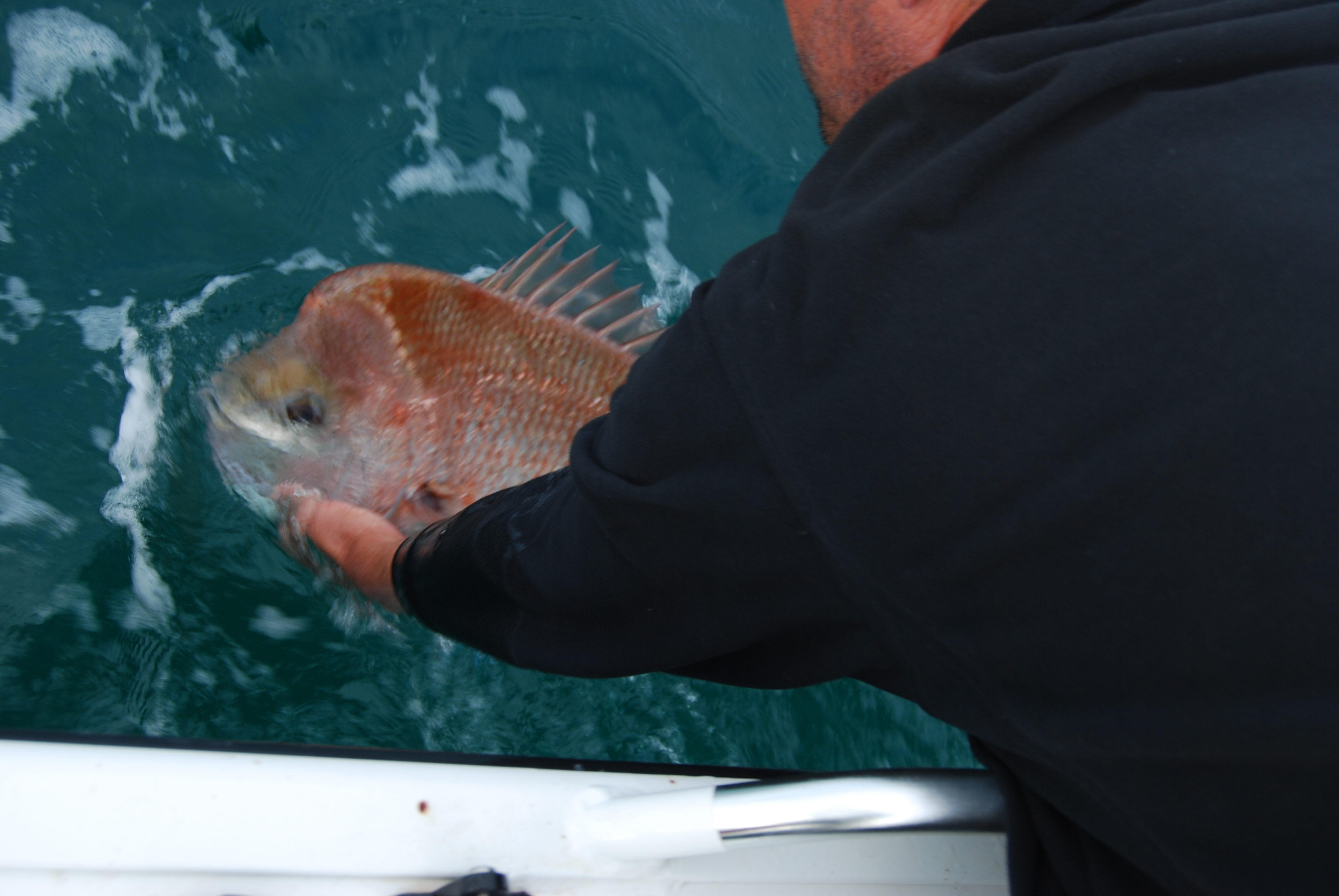 The author released a large breeding snapper.