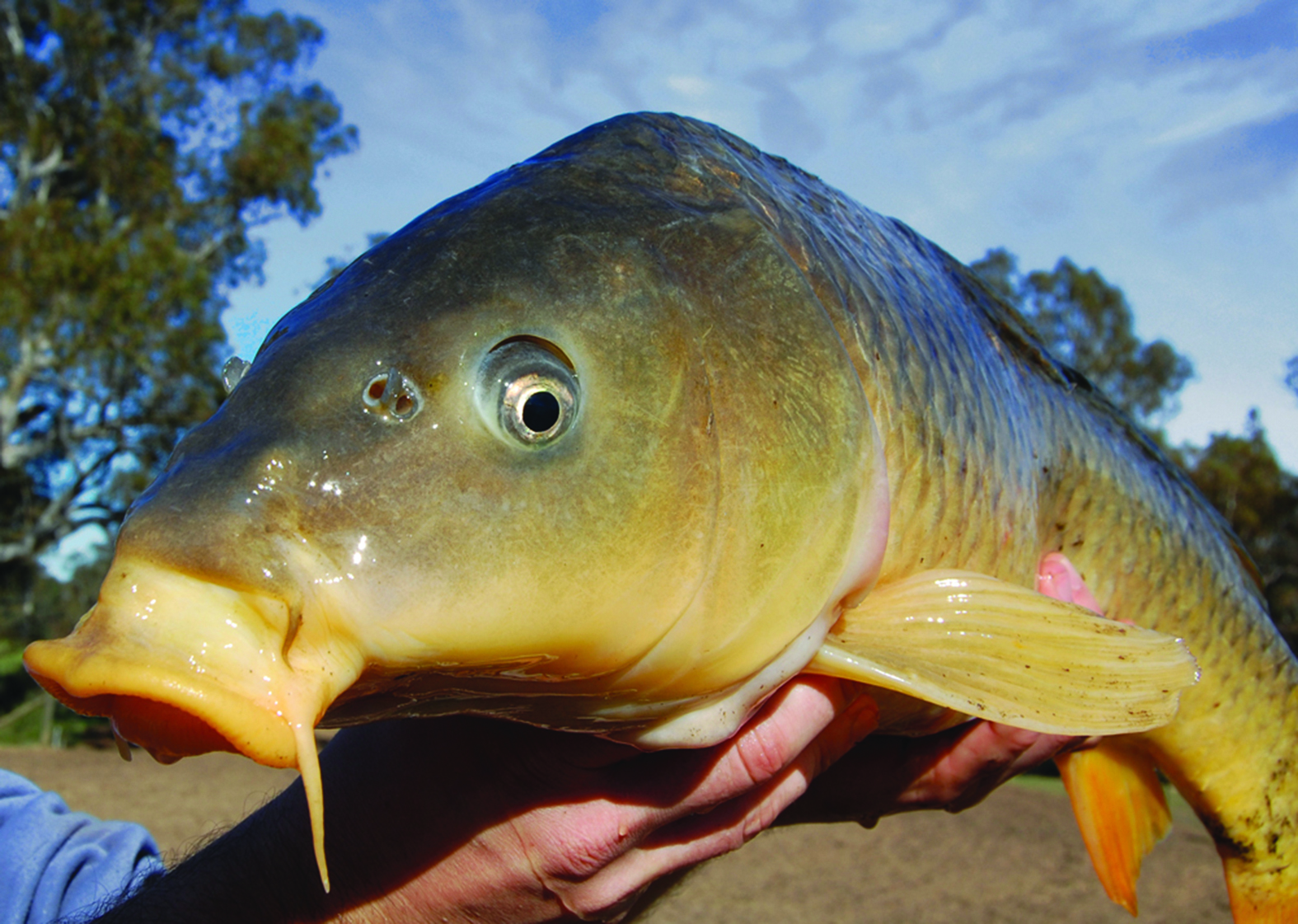 Carp_closeup_high-res_Marc-Ainsworth_cmyk_col-repl