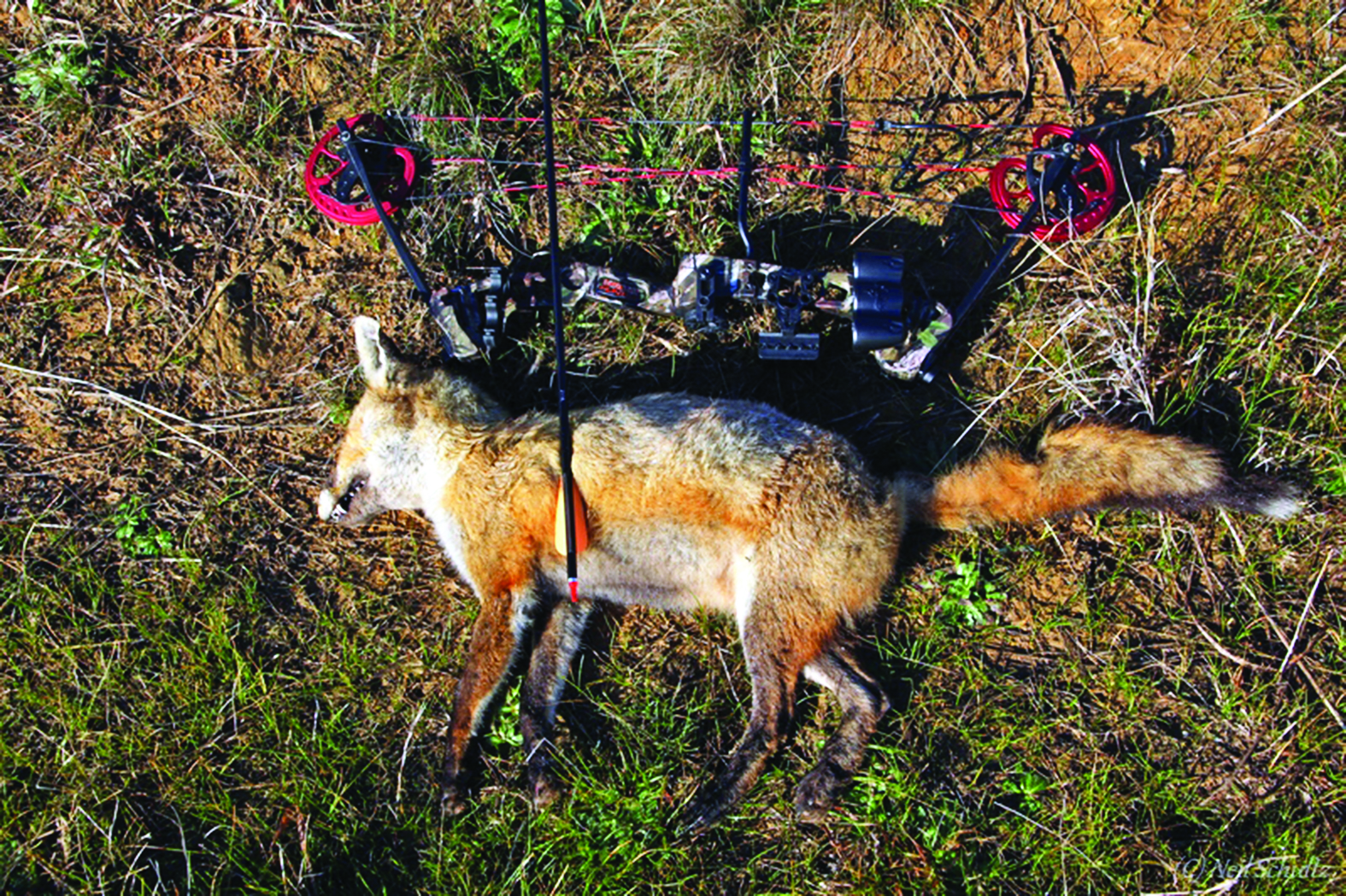 An adult fox taken with a Barnett compound bow. Bows are ideal when hunting on small blocks where overshooting would be a safety issue with a firearm.