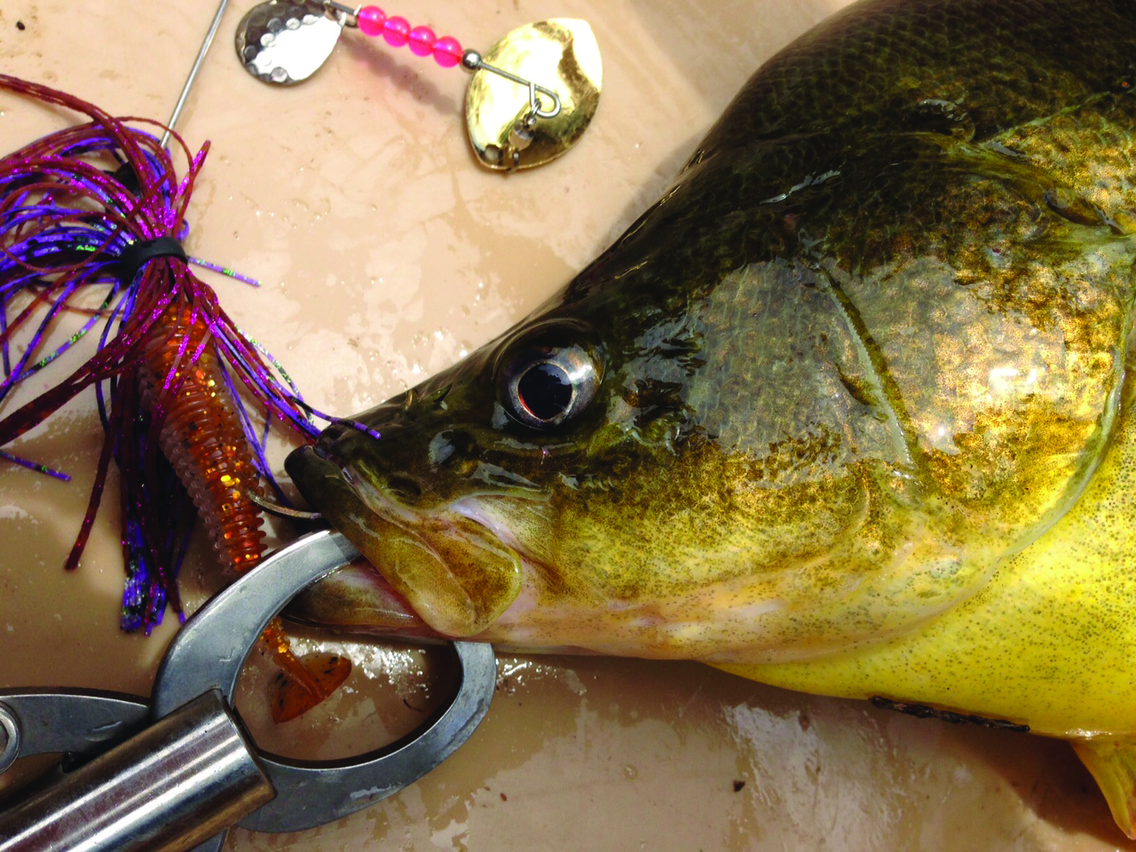 Cod Hound Spinnerbaits have proved very effective on golden perch.