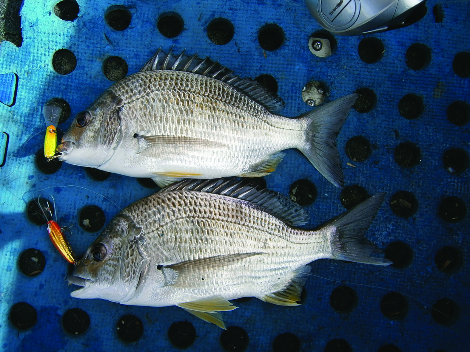 You can't do much better than getting a double hook-up of solid bream on lures.