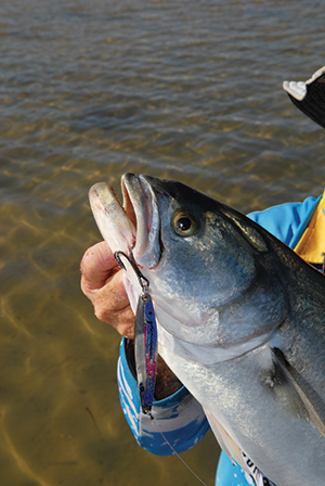 Metal lures have been catching plenty of tailor of late.