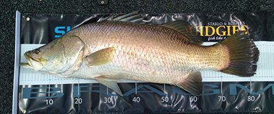 Any barra over 80cm is a tough fish.