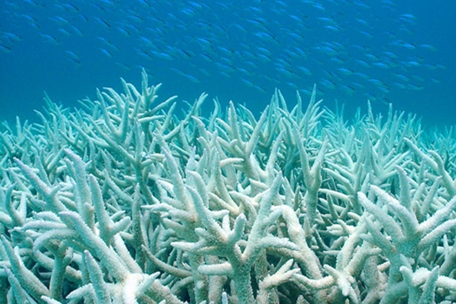great barrier reef bleached coral