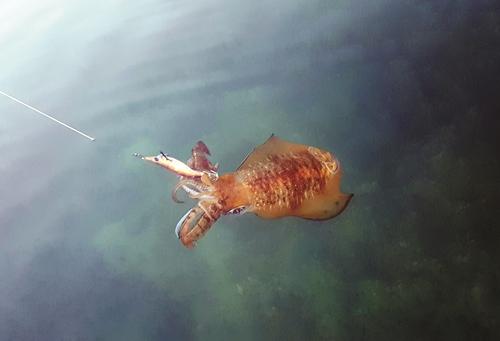 squidding moreton bay