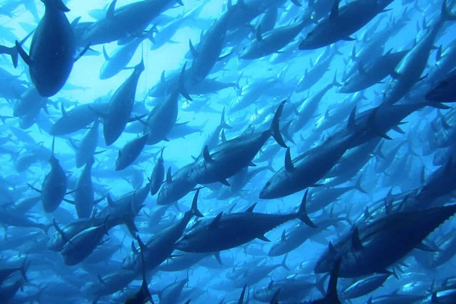 southern bluefin tuna csiro