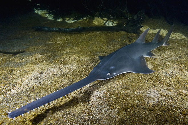 have you seen a sawfish