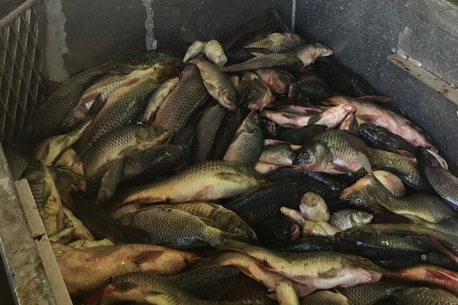 Study finds uses for dead carp