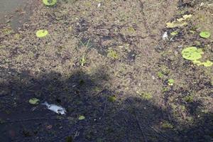 fish kill tweed river