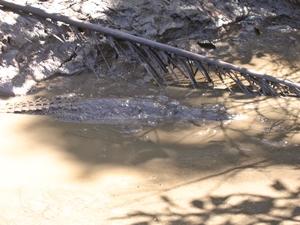 crocodiles cape york