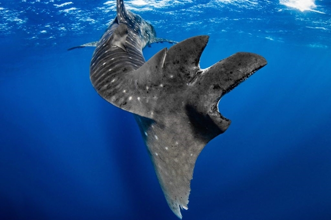 Sharp increase in whale shark injuries due to boat encounters