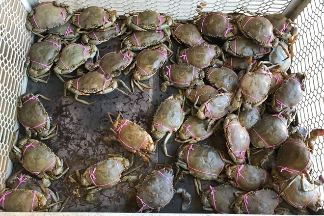 Commercial fishers fined $26,000 for taking female mud crabs